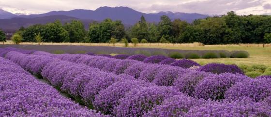 Sequim Lavender Weekend- July 19th - 21st 2019