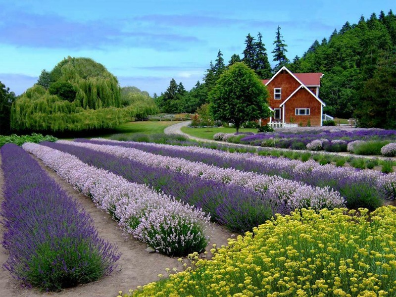 Lavender Farms and Lavender Weekend